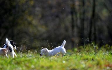 fell free, cute white puppy in the mild autumn sun