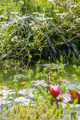 Water lilies and fountain in garden