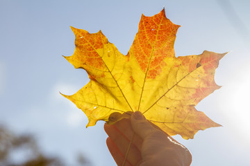 Yellow maple leaf in hand against blue sky. The sun shines through maple leaves. Maple Leaf. Keep the leaves.