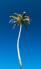 coconut tree against the blue sky