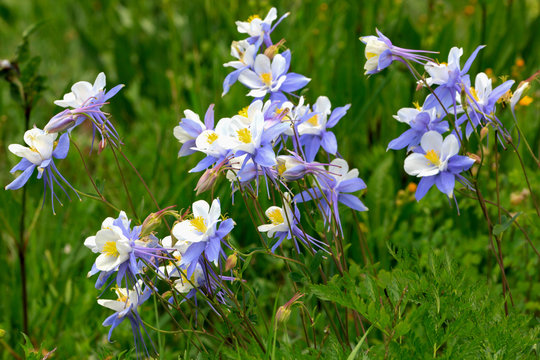 Crested Butte Wildflowers 4