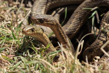 Spring Snakes in Colorado