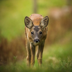 Wall Mural - Fawn look in the eyes