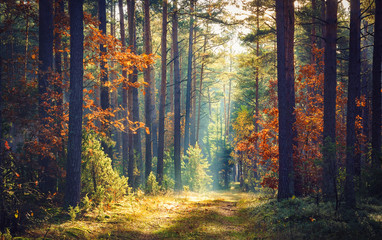 Fototapeten Wald Autumn forest nature. Vivid morning in colorful forest with sun rays through branches of trees. Scenery of nature with sunlight.