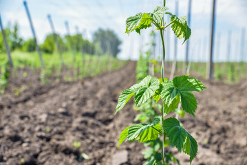 Leaves of young hops