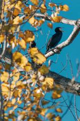 black cormoran or Phalacrocorax carbo