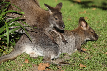 Two Bennett wallabies