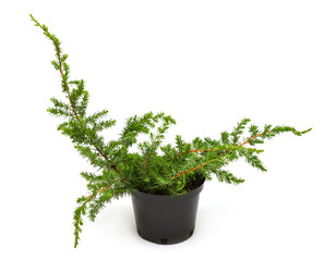 Juniperus conferta Schlager in a pot isolated on white background. Coniferous trees. Flat lay, top view