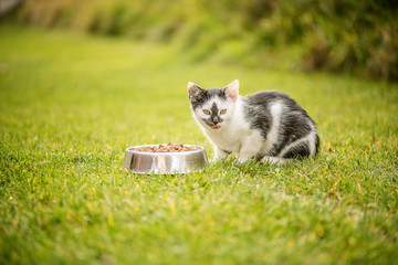 kitten eating granulated food out of bowl outside on a green grass background