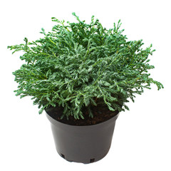Juniperus in a pot isolated on white background. Coniferous trees. Flat lay, top view