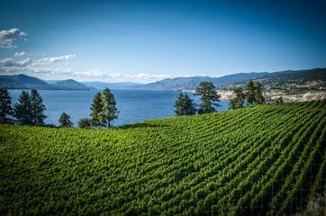 Foto op Plexiglas Blauwe jeans Summer in the vineyards Penticton British Columbia Canada