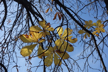 Chestnut branches with a few yellow leaves on blue sky