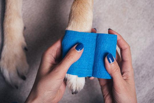 Girl putting blue bandage on injured dog paw