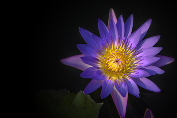 Beautiful violet lotus on darkness background