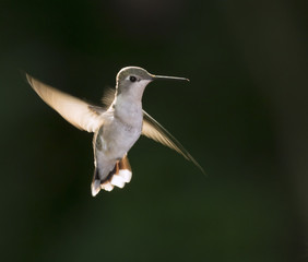 Female ruby-throated hummingbird (Archilochus colubris) flying at early morning against sunlight, Galveston, Texas, USA.
