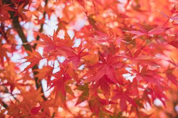 Red maple leaf in autumn seasonal at Kawaguchiko lake Japan, landmark of travel
