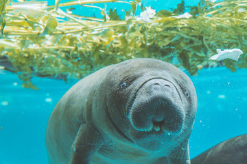 Manatee under water playing together