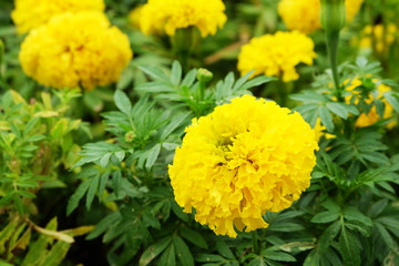 Beautiful Marigold Flower Field on Background Great for Any Use.