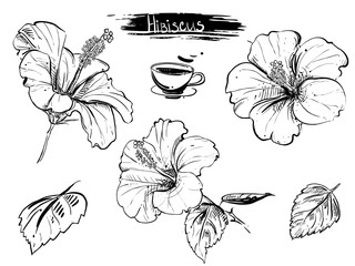 Hand drawn illustration set of hibiscus flowers, branch, leaf. sketch. Vector eps 8