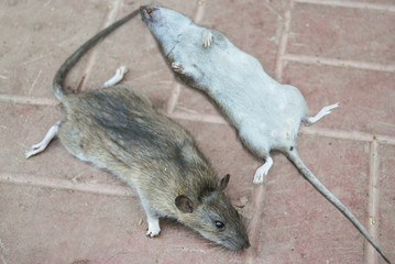 Dead gray rats lie on the road tile. Destruction of parasites.