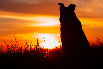 silhouette of the dog at sunset