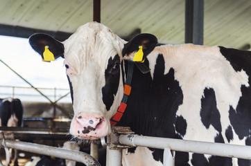 Dutch cow in the farm
