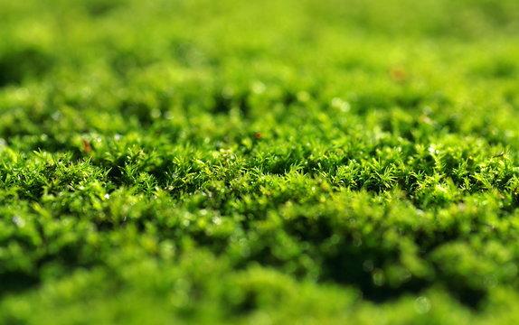 zielony mech pokryty rosą