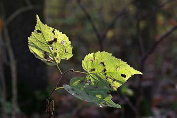 jesienne zniszczone liście
