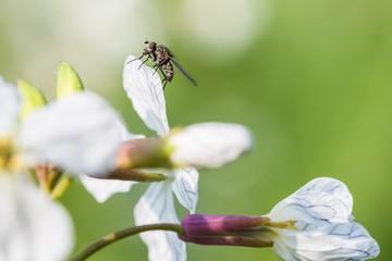 Sitzende Fliege auf einer blühenden Senfpflanze