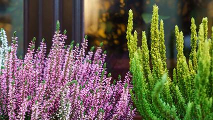 heather flowers outdoor