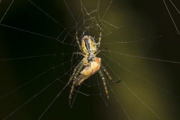 spider caught the golden fly
