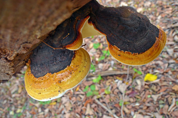 fomitopsis pinicola fungus