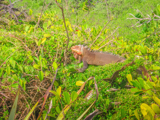Iguanas on tropical tree branch in La Desirade celebrated for its iguana population. The island has been declared a Natural Reserve. Guadeloupe Archipelago, French Caribbean and French Antilles.