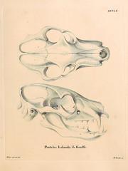 Wolf skull.