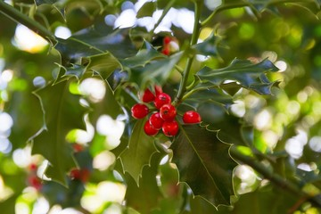 Holly branch with leaves and ripe red fruits