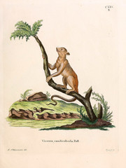 Illustration of civet