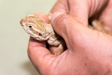Pogona henrylawsoni-Bearded Dragon in the hands of a man