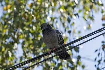 A pigeon in the urban environment on a building or wire