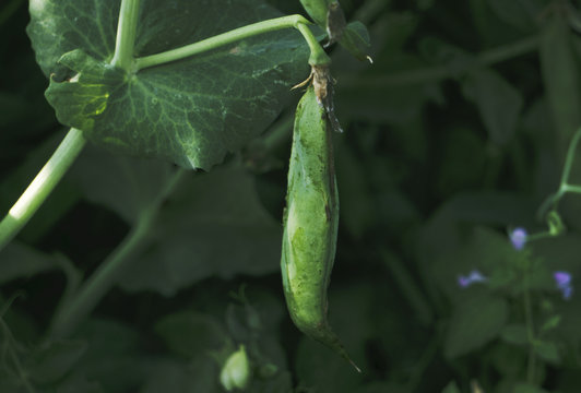 Photo of a fresh bright green pea pod on a pea plant in a garden. Growing peas outdoors.