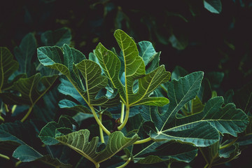 Figs leafs