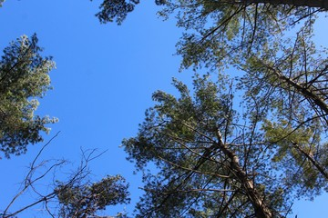 The tops of the pine trees with the blue sky background.