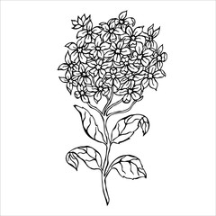 Hydrangea flower - vector illustration.