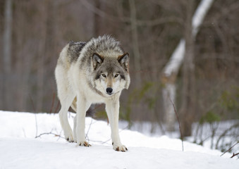 Photo sur Plexiglas Loup A lone Timber wolf or Grey Wolf (Canis lupus) walking in the winter snow in Canada
