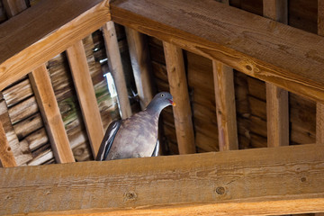 One turtledove on a wooden beam under the roof