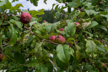 Alaska apple tree