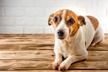 A cute dog resting on a wooden surface. White background.