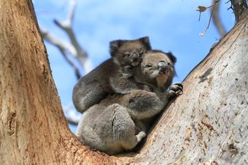 Garden Poster Koala Wild Koala with baby
