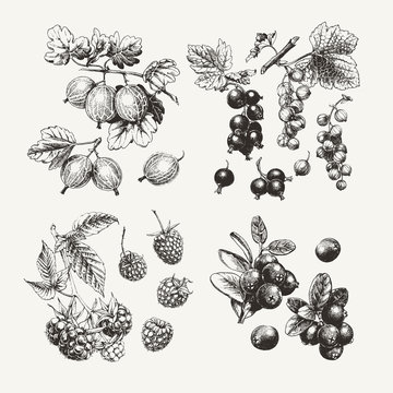 Collection of ink drawn gooseberry, raspberry, cranberry and currant