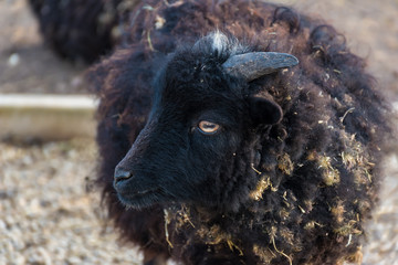 Black Ouessant sheep (ewe) - one of the smallest breeds of sheep in the world Wall mural
