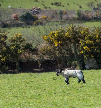 Lambs in field in Ireland